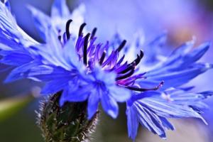 Синий полевой цветок - Василёк